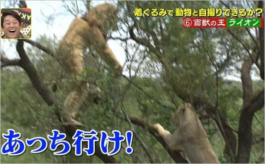 『坂上探検隊』狩野英孝がライオンと格闘シーン6枚目